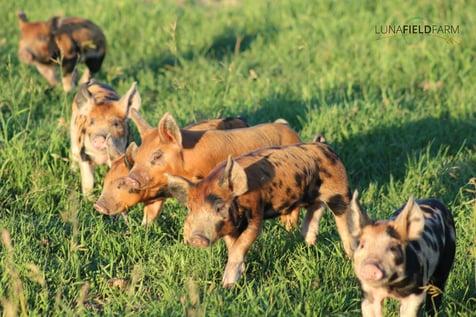 luna field piglets